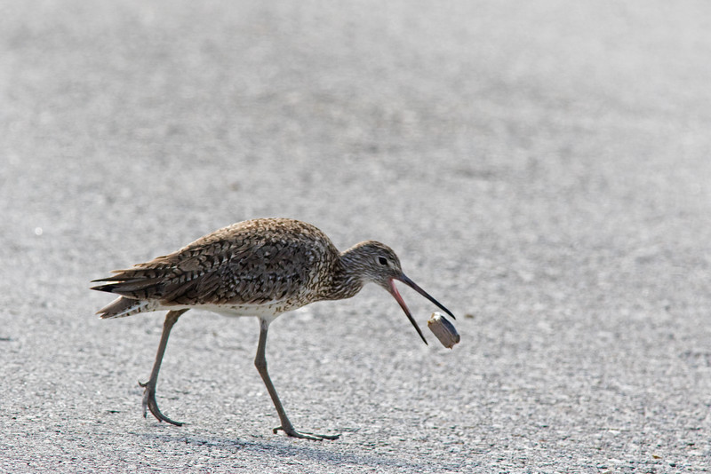 Willet and Crab
