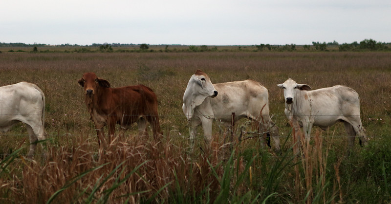 Local Cows at Anahuac.