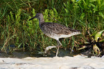 Willet Walking in Sea Foam