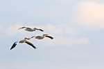 White Pelicans At Frozen Point