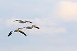 White Pelicans At Frozen Point