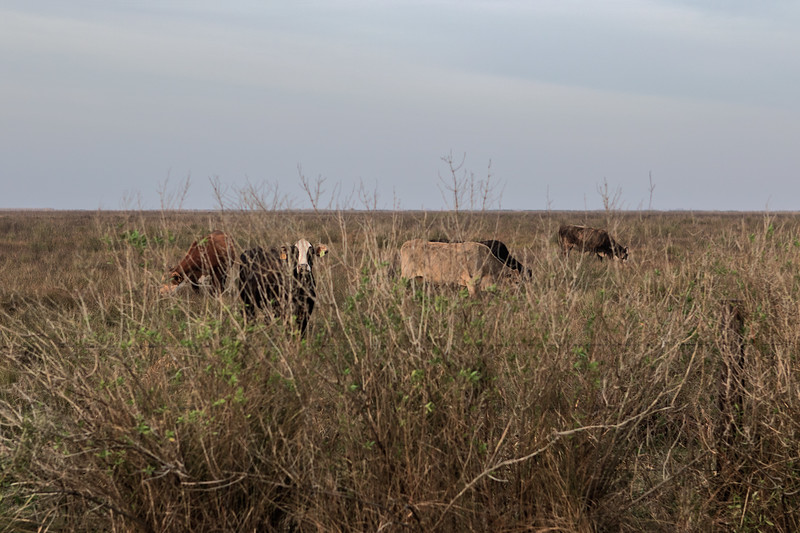 CowsScrubgrass2,sRGB24x16x300,002496