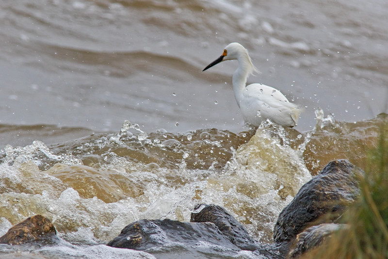 Snowy Egret Braving the Waves