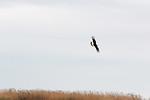 Caracara Flight At Frozen Point