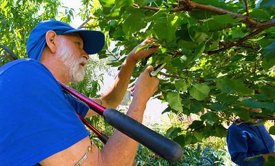 Chidambar Prunes an Apricot Tree