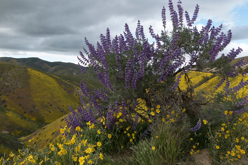 Some huge lupine bushes dot the sides of the hills along Hurricane Rd