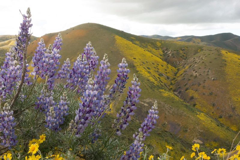 Lupine on Hurricane Rd, Temblors looking north