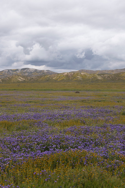 Phacelia (purple) and fiddlenecks (orange)