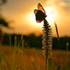 Sunset Butterfly 1