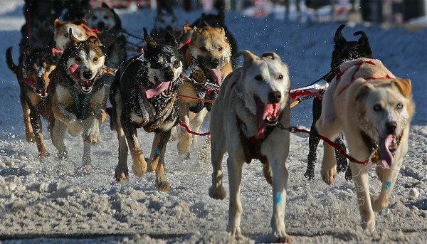 All of these Dogs are sprint racing dogs. Bread for short fast distances. They get really pumped up when it is race day. Barking and jumping they can not wait to get going. These kind of dogs love to run.