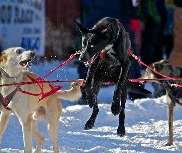2012 Fur Rondy Sprint Dog Races in Anchorage. This is a world class dog race with competitors from all over the world come to race there dogs.