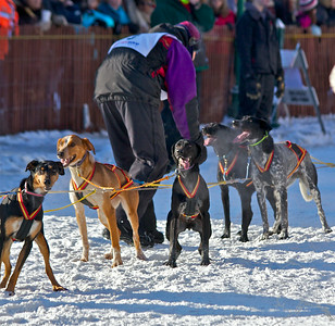 2012 Fur Rondy Sprint Dog Races in Anchorage. This is a world class dog race with competitors from all over the world come to race there dogs. Musher checking on the team before the start.