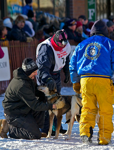 2012 Fur Rondy Sprint Dog Races in Anchorage. This is a world class dog race with competitors from all over the world come to race there dogs. Musher checking on his lead dogs.