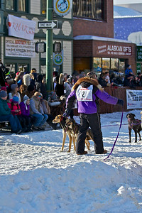 2012 Fur Rondy Sprint Dog Races in Anchorage. This is a world class dog race with competitors from all over the world come to race there dogs. Musher checking on his team.