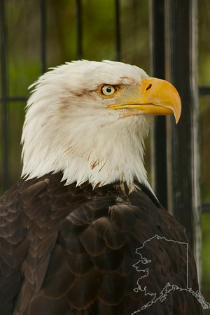 This eagle has a broken wing and lives in the Anchorage Zoo.
