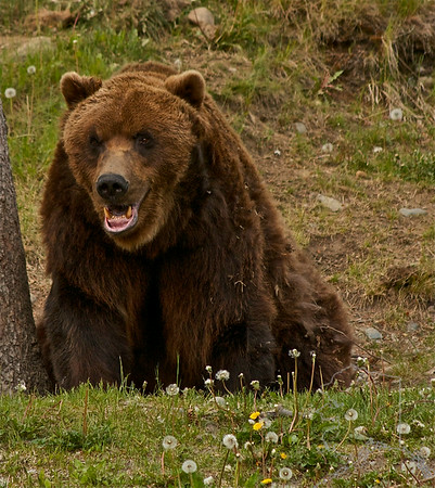 Jake the Grizzly