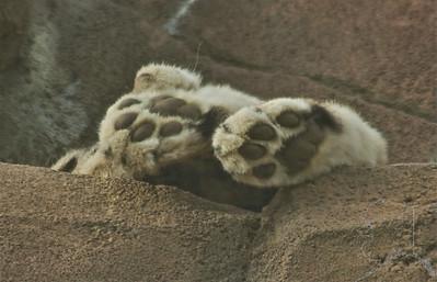 snow leopard Paws