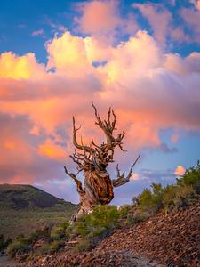 Marcus Aurelius Stoic Philosopher King: Ancient Bristlecone Pine Forest Fine Art Landscape Nature Photography  Elliot McGucken Fine Art Landscape Nature Photography Fuji GFX100 Fine Art