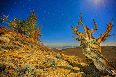 """""""Bristlecone Gold,"""" Ancient Bristlecone Pine Forest and stars, Inyo National Forest, White Mountains, California"""