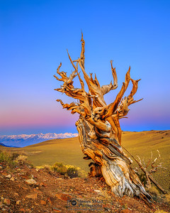 """""""The Weathered Sage,"""" Alpenglow at Dawn in the Ancient Bristlecone Pine Forest, Inyo National Forest, White Mountains, California"""