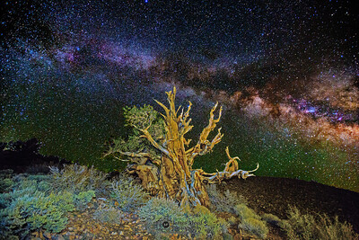 """""""Counting Stars,"""" Ancient Bristlecone Pine Forest Milky Way, Inyo National Forest, White Mountains, California"""