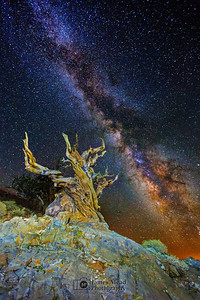 """""""Twisted Starlight,"""" Ancient Bristlecone Pine Forest Milky Way, Inyo National Forest, White Mountains, California"""