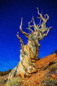 """""""Twisted Moonlight,"""" Ancient Bristlecone Pine Forest and stars, Inyo National Forest, White Mountains, California"""