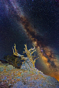 """""""The Wizard's Wand,"""" Ancient Bristlecone Pine Forest Milky Way, Inyo National Forest, White Mountains, California"""
