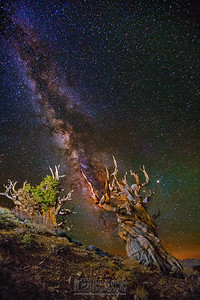 """""""Ancient Light,"""" Ancient Bristlecone Pine Forest Milky Way, Inyo National Forest, White Mountains, California"""