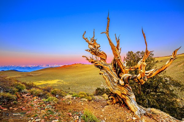 """""""The Philosopher's Tree,"""" Sunrise in the Ancient Bristlecone Pine Forest, Inyo National Forest, White Mountains, California"""