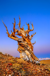 """Alpine Guardian,"" Ancient Bristlecone Pine Forest Alpenglow at Dawn, Inyo National Forest, White Mountains, California"