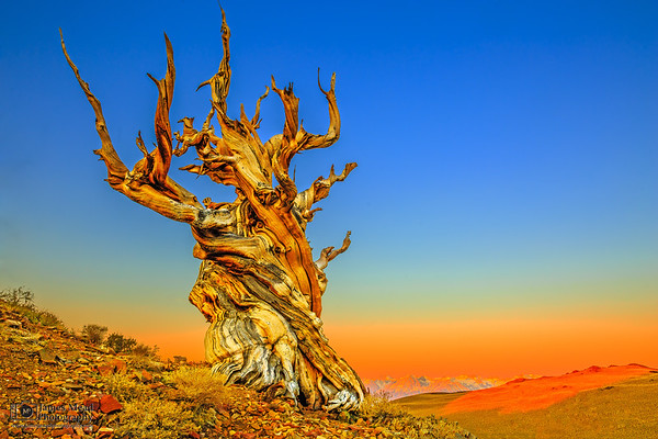 """""""Father Time,"""" Sunrise in the Ancient Bristlecone Pine Forest, Inyo National Forest, White Mountains, California"""
