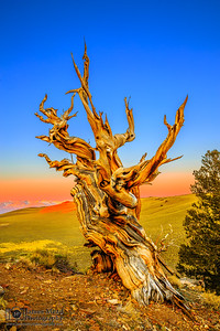 """""""Ancient Sentinel,"""" Sunrise in the Ancient Bristlecone Pine Forest, Inyo National Forest, White Mountains, California"""