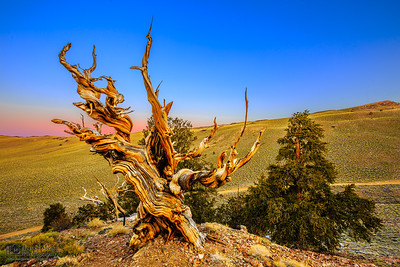 """""""The Sage's Scepter,"""" Sunrise in the Ancient Bristlecone Pine Forest, Inyo National Forest, White Mountains, California"""