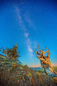 """""""Bristlecone First Light,"""" Ancient Bristlecone Pine Forest Milky Way at Nautical Dawn, Inyo National Forest, White Mountains, California"""