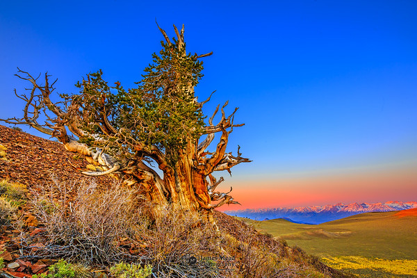 """'Sierra Watchman,"""" Sunrise in the Ancient Bristlecone Pine Forest, Inyo National Forest, White Mountains, California"""