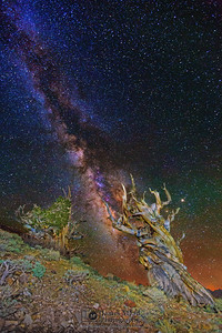 """""""Scorpion Tree,"""" Ancient Bristlecone Pine Forest Milky Way, Inyo National Forest, White Mountains, California"""