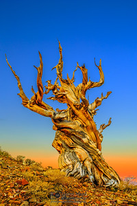 """""""Elevated Ancients,"""" Sunrise in the Ancient Bristlecone Pine Forest, Inyo National Forest, White Mountains, California"""