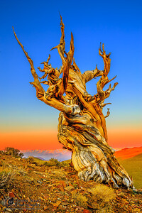 """""""The Overseer,"""" Sunrise in the Ancient Bristlecone Pine Forest, Inyo National Forest, White Mountains, California"""