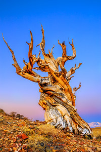 """""""Timekeeper,"""" Ancient Bristlecone Pine Forest Alpenglow at Dawn, Inyo National Forest, White Mountains, California"""