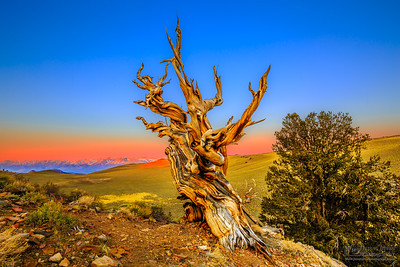 """""""Shepherd of Light,"""" Sunrise in the Ancient Bristlecone Pine Forest, Inyo National Forest, White Mountains, California"""
