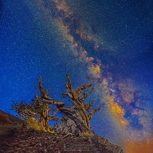 """""""Ancient Towers,"""" Ancient Bristlecone Pine Forest Milky Way, Inyo National Forest, White Mountains, California"""