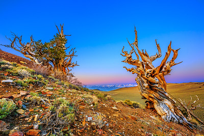 """""""Timeworn,"""" Ancient Bristlecone Pine Forest at Dawn, Inyo National Forest, White Mountains, California"""
