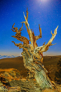 """""""Rebirth,"""" Ancient Bristlecone Pine Forest and stars, Inyo National Forest, White Mountains, California"""