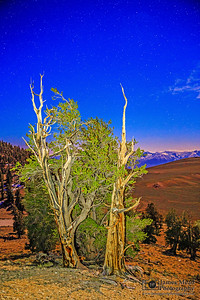 """""""Twin Pine Skyglow,"""" Ancient Bristlecone Pine Forest and stars, Inyo National Forest, White Mountains, California"""