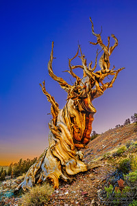 """""""Ancient Wonders,"""" Sunrise in the Ancient Bristlecone Pine Forest, Inyo National Forest, White Mountains, California"""