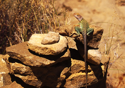 CollaredLizard