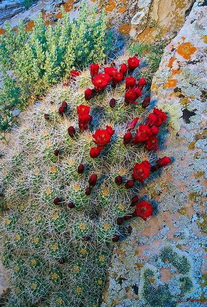 Lichen and Claret Cup at Cajun Group, Hovenweep N.M.