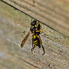 Ancistrocerus trifasciatus (Mason Wasp)