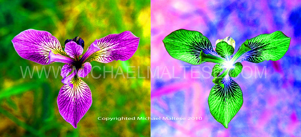 Wild Irises, Positive and Negative, Photoshop Special effects, Client: Photography Stock Agency.